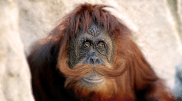 Orangutan with a moustache