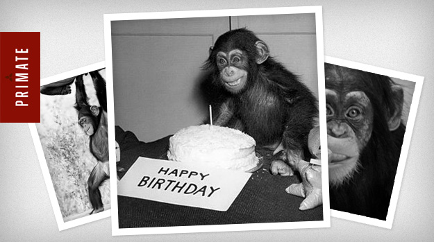 Chimpanzee with a birthday cake