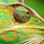 close up of chameleon